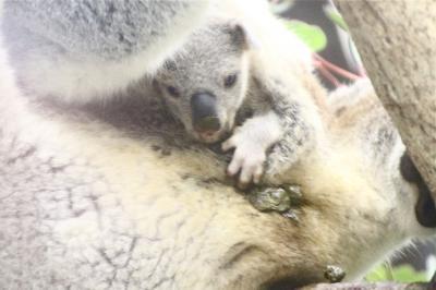 Wベビーの出会いがあった晩秋の埼玉こども動物自然公園~もう1頭コアラの赤ちゃん&水滴ガラス越しのレ赤ちゃんとじいちゃんも可愛いレッサーパンダ