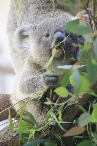 車デビューした多摩動物公園のレッサーパンダとコアラの赤ちゃん詣~可愛く成長したニシチくんと飛び跳ねていた双子&たくさん会えたリーファちゃん他