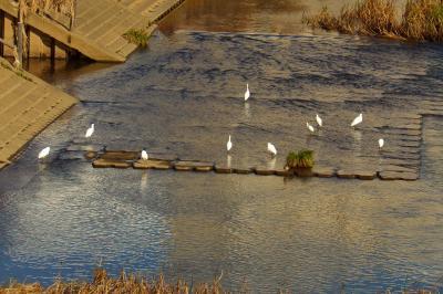 柏尾川の白サギが10羽に-2019年秋