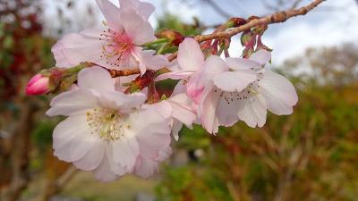 池田城址公園へ十月桜と紅葉を見に行きました 上巻。