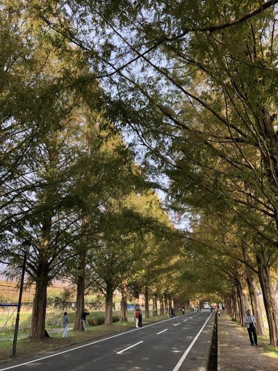 高島市 メタセコイア並木