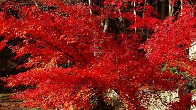 丹波篠山へ紅葉狩りに行きました(1) 洞光寺の紅葉 上巻。