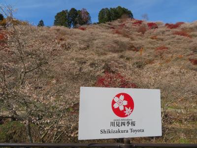 桜と紅葉の共演/豊田市小原四季桜に魅了