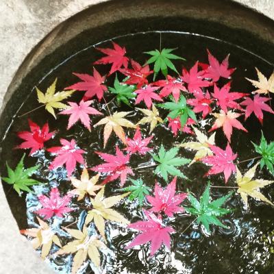 トゲ抜きモミジ☆秋の残香に癒され デトックス《旧古河庭園》