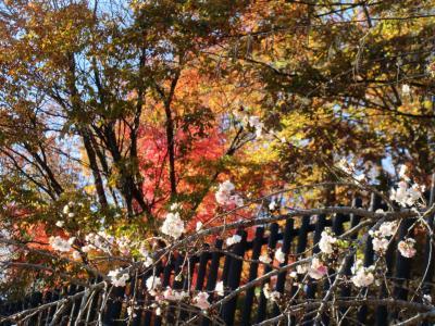*・*:.。.   冬桜   .。.:*・*