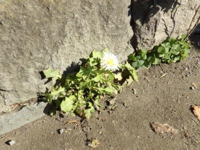 初冬に咲く白花タンポポ-2019年初冬