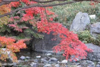 2019初冬、熱田・白鳥の紅葉散策(2/5):12月1日(2):堀川、白鳥庭園、楓の紅葉、ユリカモメ、カルガモ
