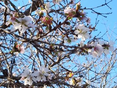 快晴の日に藤岡・鬼石の冬桜と紅葉の饗宴を見に