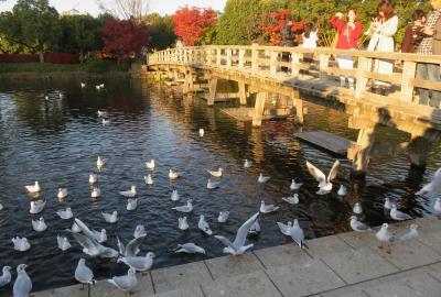 2019初冬、熱田・白鳥の紅葉散策(4/5):12月1日(4):白鳥庭園、紅葉、ユリカモメ、カルガモ、堀川、川鵜