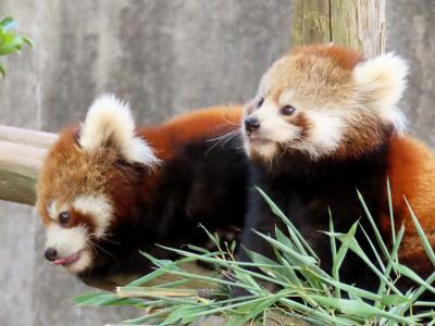 西山動物園 たくさん食べて大きくなあれ!!小柄でもやんちゃなニーコちゃん&令花ちゃん!! そして、頑張るまつばママ!!