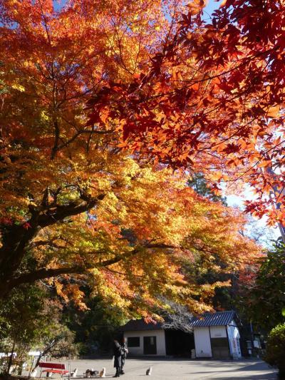 「唐沢山城跡」の紅葉_2019(2)_12月4日は見頃継続中、とても綺麗でした(栃木県・佐野市)