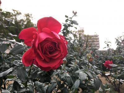 広島☆冬のバラ公園とフレンチトースト