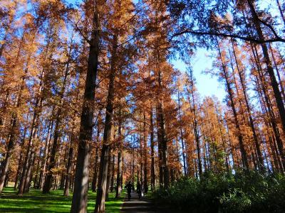 メタセコイアの紅葉が見頃、水元公園ウォーキング