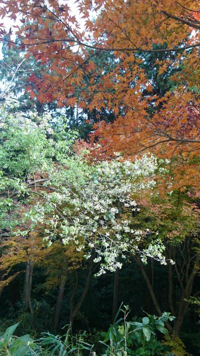 【ちょっとお出掛け】もみじ寺の紅葉と桜 2