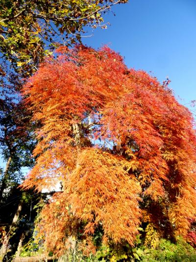 「小林槭樹(もみじ)園」の紅葉_2019_見頃終盤ですが、見事に綺麗でした。(川口市・安行)