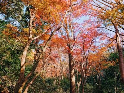 紅葉の鎌倉獅子舞ヶ谷ハイキングとラッテリアベベ鎌倉のおしゃれランチ