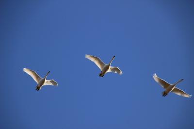 ◆師走の白鳥点描~阿武隈川&釈迦堂川