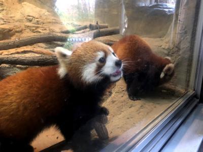 多摩動物公園  時を越えて・・・メイファの名を持つパンダに再び会えた日、シンファちゃん初めまして!!