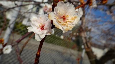 子福桜を見に、伊丹スポーツセンターへ行きました その3。