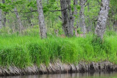 釧路川カヌーツアー体験2019初夏~釧路湿原で野生動物と出会う~(釧路)