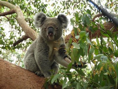 コアラは一生懸命にユーカリを食べています(タロンガ動物園)(動画付き)
