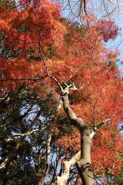 獅子舞谷の紅葉と富士山-2019年師走
