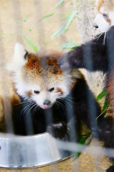 晩秋の北陸レッサーパンダの赤ちゃん詣(3)西山動物園:小雨がちで室内展示でもレッサーパンダの赤ちゃんたちをほぼ独り占め!