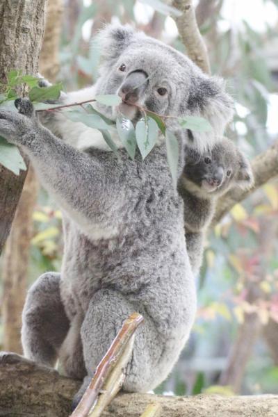 黄葉彩る12月の埼玉こども動物自然公園(後編)カピバラゆず湯やレッサーパンダの双子とコアラの赤ちゃん活躍!~ハニーちゃんの赤ちゃんは見られず