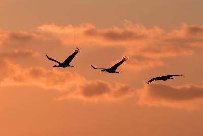 出水ではツルが舞い飛び、有明海の干潟ではシギがエサを取る:珍鳥にも出会えた2泊3日、観察と撮影の旅