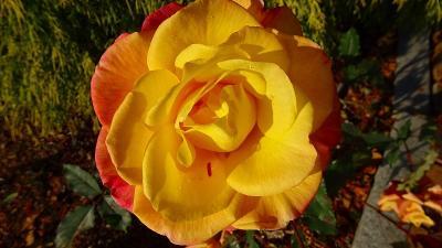 今年最後の事前予約の病院へ通院ついでに・・・荒牧バラ公園のバラの鑑賞 品種編。