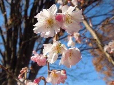 晴天に映える冬桜の花