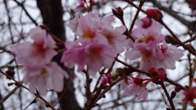 緑ヶ丘公園の十月桜を観に行きました 中巻。