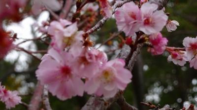 緑ヶ丘公園の十月桜を観に行きました 下巻。