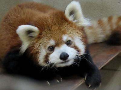 茶臼山動物園 ロン君に会いに行くイベントに参加!! まさかチャオ王子にリンゴをあげれるなんて!!