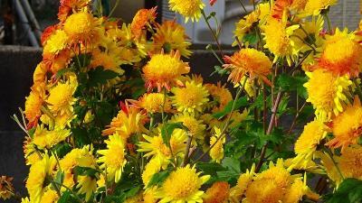 蝋梅の開花を探して・・・宝塚市山本野里公園付近へ その4。