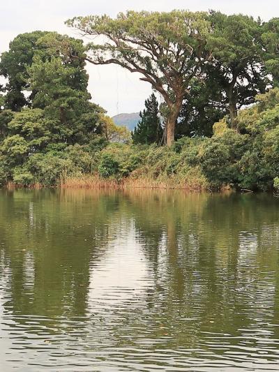 大瀬崎-1 大瀬神社境内・神池 海近くの淡水湖-コイ群れて ☆富士山間近のパワースポット