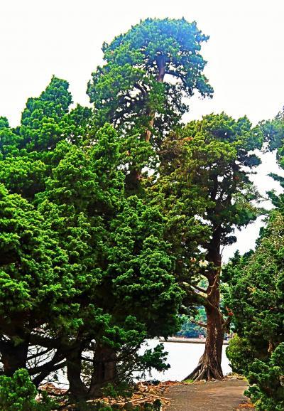 大瀬崎-2 大瀬神社境内 ビャクシンの樹林 ☆御神木:樹齢1,500年/幹回り7.6mも