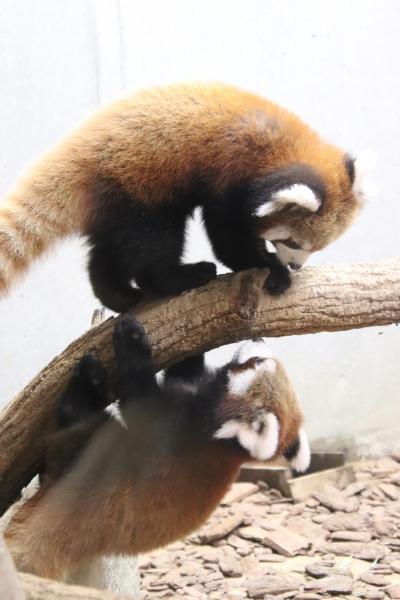 晩秋の北陸レッサーパンダの赤ちゃん詣(4)富山市ファミリーパーク・レッサーパンダ編:令和兄弟はずっと起きていて短縮営業でも充実の初訪問