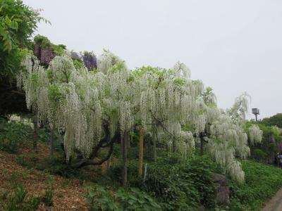 横須賀しょうぶ園で満開の藤の花