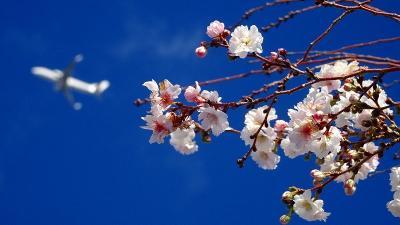 伊丹市東野地区へ、桜と蝋梅を探して徘徊 その3。