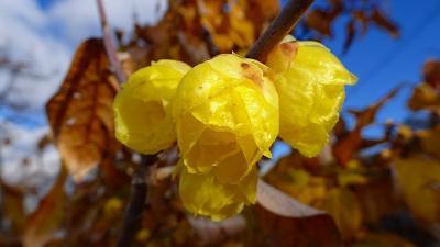 伊丹市東野地区へ、桜と蝋梅を探して徘徊 その4完。