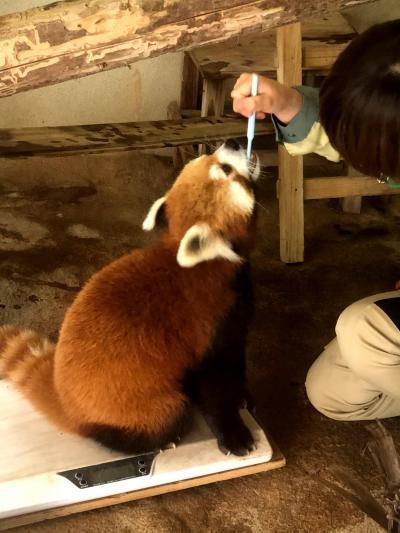 平川動物公園 驚嘆!! 誘導トレーニング、体重測定、ブラッシング、歯磨きトレーニングを可能にする信頼関係・・・進化する飼育技術を目撃!!