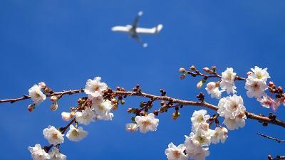 好天に恵まれた朝の散歩は、桜の花と蝋梅を探して その3。