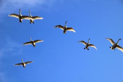 ◆新春の青空を翔る~釈迦堂川の白鳥