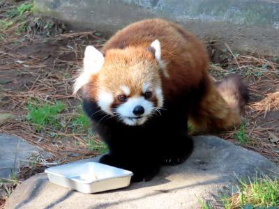宮崎市フェニックス自然動物園  新天地・宮崎での活躍が期待されるカフェ君・・・超イケパン同士のトレードのせいか違和感なし!!