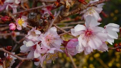 桜と蝋梅を求め、新池公園付近を散歩してきました その1。