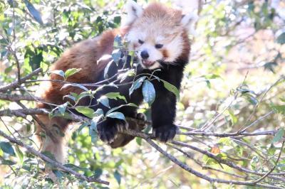 車で巡る歳末レッサーパンダとイルミネーション(前編)羽村市動物公園:レッサーパンダのソラちゃん・ラテくん久しぶり&モルモットのお帰り