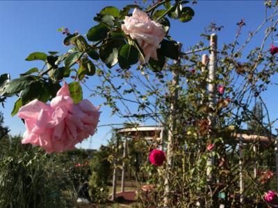 埼玉・鴻巣の花久の里の秋バラと菊2019
