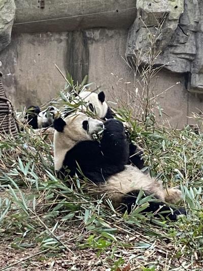 【成都4日間 2019-20年末年始】成都パンダ繁殖研究基地編