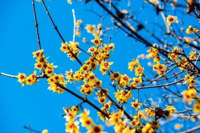 高尾山自然公園の蝋梅 2020